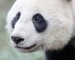 Giant Panda Face Close-up, Chengdu, China