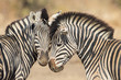 Cuddles between two zebras, Kruger Park, South Africa