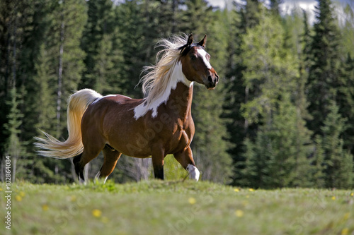 Beautiful Pinto Gelding running in meadow