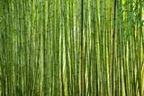 Fototapety Lush green bamboo