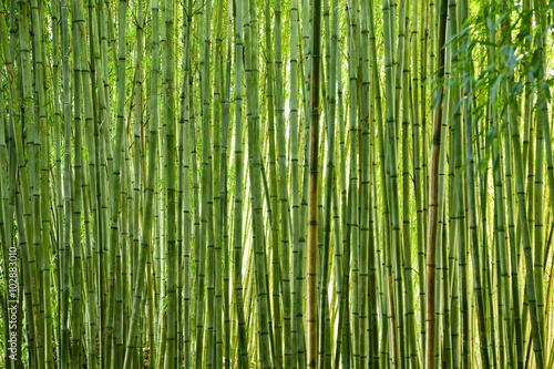 Bujny zielony bambus