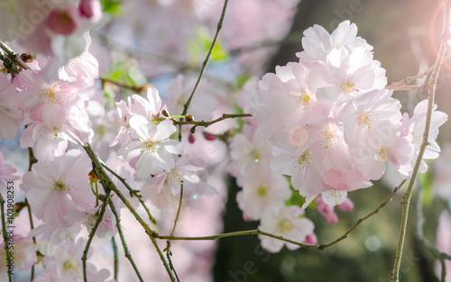 Foto op Canvas Azalea Spring Dream : Japanese cherry blossoms :)