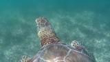 tartaruga nuota nel mar dei caraibi