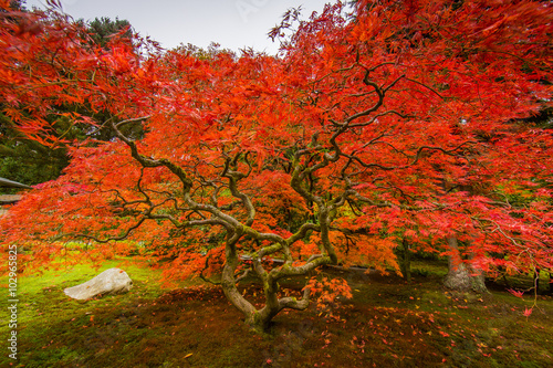 Seattle Japanese Garden, Maple Tree