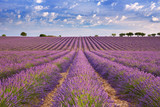 Fototapety Blooming fields of lavender in the Provence, southern France