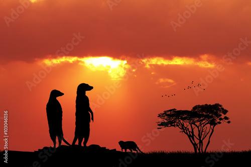 Meerkats at sunset