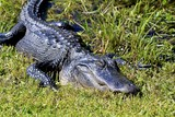 Alligator resting, Florida Everglades