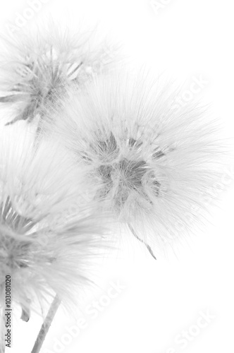 Bouquet of dandelions - 103081020