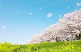Fototapety 日本の春の風景 桜 染井吉野 桜吹雪