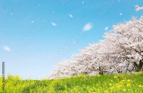 日本の春の風景 桜 染井吉野 桜吹雪 Poster