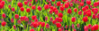 Row of tulips in a culture, Netherlands