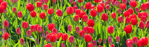 Fotobehang Tulpen Row of tulips in a culture, Netherlands