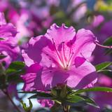pink blooming azalea bush