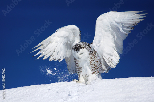 Snowy owl landing on snow