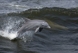 Bottlenose Dolphin (Tursiops truncates)