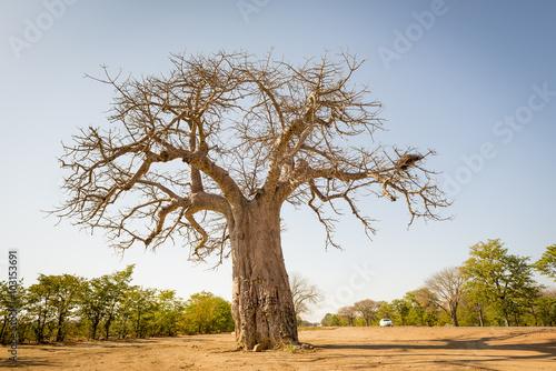 In de dag Baobab Baobab Tree