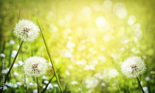Fototapety, obrazy : Dandelion