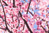 Blossoming cherry tree