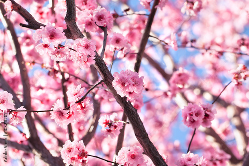 Blossoming cherry tree Poster