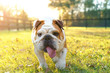Purebred English bulldog dog canine pet walking towards viewer getting exercise outside in yard grass fenced area looking happy fit hot determined focused