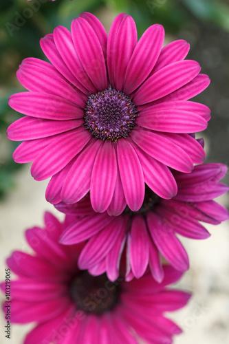 Plexiglas Roze デイジーの花