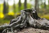 Old weathered tree stump - 103219258