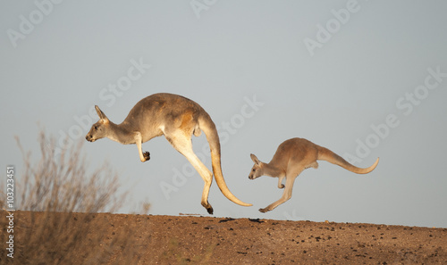 kangaroos in Sturt National Park,New South Wales, Australia - 103223451