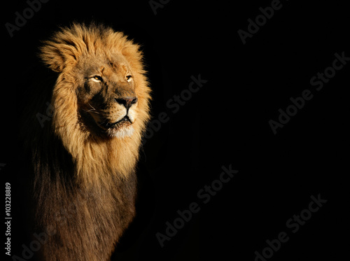 Fotobehang Leeuw Portrait of a big male African lion (Panthera leo) against a black background, South Africa.