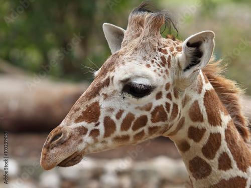 Tuinposter Eekhoorn close up of giraffe face