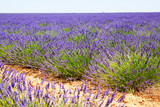 field with plant of blue  lavender