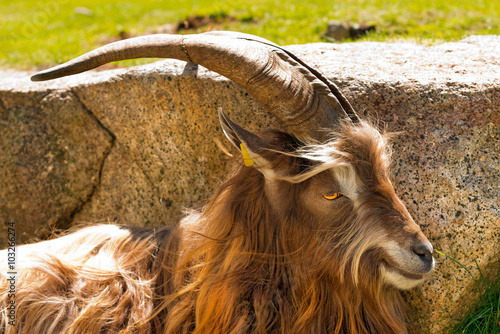 Poster Mountain Male Goat - Italian Alps / Brown and white billy goat with long fur and horns in the shade of a rock