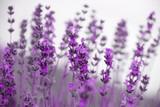 field lavender flowers - 103277058