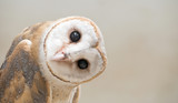 Fototapety common barn owl ( Tyto albahead ) close up