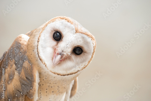 common barn owl ( Tyto albahead ) close up - 103314814