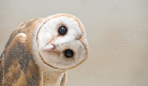 common barn owl ( Tyto albahead ) close up - 103314840