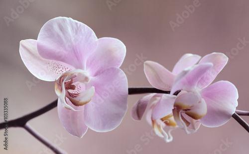 Storczyki - Orchidea