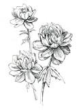 Siberian globeflower - 103338854