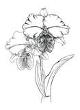 Orchids - 103338870