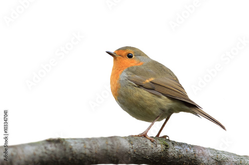 Poster bird Robin sitting on tree isolated on white background