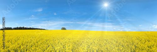 Fototapeta Blühendes Rapsfeld Panorama mit Sonnenstrahlen