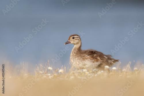 Poster Mallard Duckling (Anas platyrhynchos)