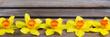 Obrazy na płótnie, fototapety, zdjęcia, fotoobrazy drukowane : narzissenblüten in einer reihe