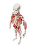 svalové anatomie