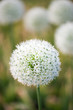 Beautiful meadow with flowers of white Allium. One flower in focus at close range