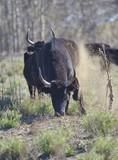 angry bull (Camargue bull  or Taureau de Camargue ) - France