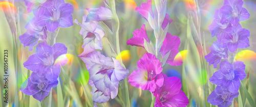 fototapeta na ścianę gladiolus in garden close up