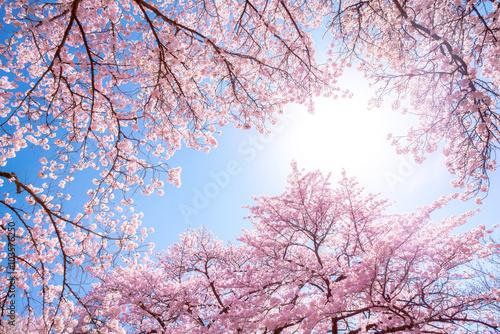Plagát, Obraz Rosa Kirschbäume im Frühling als Hintergrund vor blauem Himmel