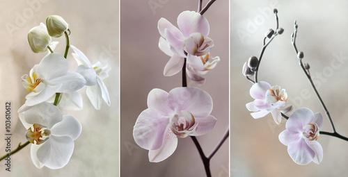 Orchidea ( storczyki) - pastelowe - 103610612