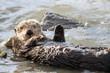 California Sea Otter Waving
