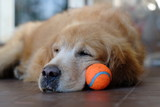 Golden Retriever play ball